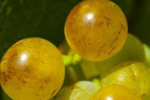 Gros plan de raisins du cépage Muscat petits grains. Photo © Alain Marquina/photos-vigne.com
