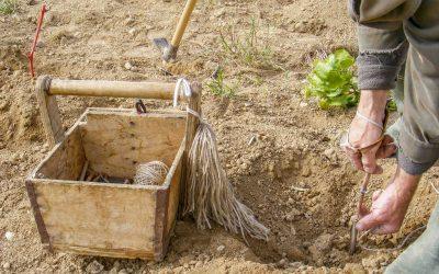 Greffage soigneux en plan d'un jeune plantier