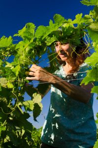 agriculture biologique-vignes en palissage à la main-Syrah Roussane, Vermentino et Grenache