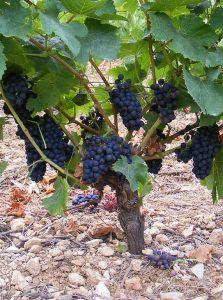 syrah mourvèdre- vin rouge bio kermès garance lentisque