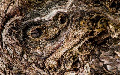 Les nœuds d'un vieux cep de muscat