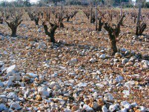 Prise de vue d'un des sols d'une parcelle de muscat de Stony