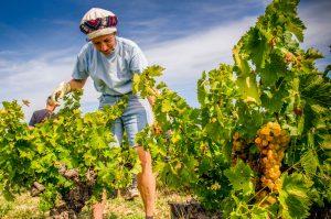 Vendanges en vieille vigne de muscat bio